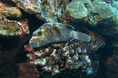 puffer perch (BarryFackler) Tags: kona westhawaii ocean sea arothronmeleagris spottedpuffer puffer oopuhue guineafowlpufferfish ameleagris keke spottedpufferfish guineafowlpuffer pufferfish honaunau bay southkona honaunaubay fish seacreature sealife fauna organism life ecology ecosystem animal zoology vertebrate biology being nature marinelife marinebiology water reef undersea underwater coralreef coral tropical outdoor 2018 konadiving bigislanddiving hawaiidiving marine marineecology marineecosystem barryfackler barronfackler bigisland konacoast hawaii hawaiiisland hawaiicounty hawaiianislands sandwichislands scuba saltwater sealifecamera aquatic diver diving dive polynesia pacificocean pacific island