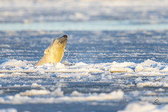 Ice Crowned King of the Arctic (Glatz Nature Photography) Tags: alaska barterisland glatznaturephotography kaktovik northamerica northslope polarbear ursusmaritimus nature wildlife wildanimal ice swim arcticnationalwildliferefuge nanuk nanook nanuq animal mammal bear arcticalaska eyelevelview nikond850