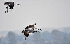 Kranichpaar mit Jungvogel im Anflug (karinrogmann) Tags: zingst mecklenburgvorpommern grucenerina commoncrane grusgrus kraniche