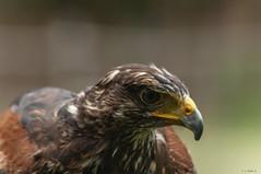 POIANA PORTRAIT (cune1) Tags: uccelli birds animali animals natura nature italia parcodelticino