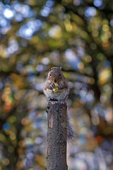 Squirrel Bokeh (»WOLFE«) Tags: squirrel squirrels eating apple bokeh colourful colour nikon d600 animals animal portrait food grey red post standing sitting park parks stock images york yorkshire england uk trees tree