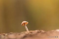 Daar stond je dan vanavond (borremans15) Tags: macro macrofotografie macrophotography 100 100mm mushrooms paddestoelen zwam zwammen pastel kleur canon zoom zoomnl closeup nature natuur color kleuren colors forest bos borremans fotografie photography