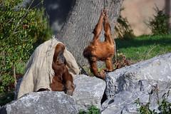 Sumatran Orangutan (Pongo abelii) (Seventh Heaven Photography) Tags: sumatran orangutan pongo abelii pongoabelii animal mammal primate females juvenile mum mother daughter nikond3200 chester zoo cheshire criticallyendangered