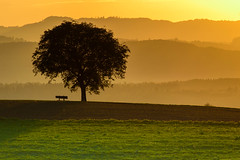 Same tree, different light (Valérie C) Tags: tree bench sunset country nature switzerland walnuttree aargau grass mountain green yellow