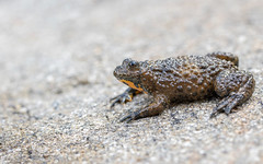 Yellow-bellied Toad (Alex Perry Wildlife Photography) Tags: yellowbelliedtoad toad bombinavariegata bombina bombinatoridae herp herpetofauna frog anura amphibian westernrodopi bulgaria