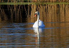Mute Swan (3) (grahamh1651) Tags: marazion longrockpool birds waterbirds swans mountsbay grebes