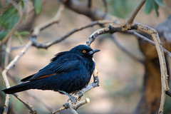 Cape Glossy Starling  _3960-2 (hkoons) Tags: southernafrica welwitschiaplainspark volcanicrock africa african damara namib namibdesert namibia spitzkoppe tree animal animals aviary beast bird birds desert feathers flight fowl growth hills landscape outdoors plants rocks stone vegetation winged