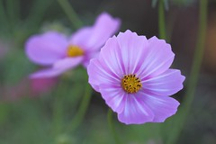 Cosmos (tkr.8010) Tags: nature floral bloom plant botanical pink flower cosmos