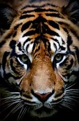 Eye of the Tiger (Thanks for over 7M views! Pix.by.PegiSue) Tags: sumatrantiger bigcat eyeofthetiger allrightsreservedcopyrightpixbypegisue tiger predator carnivore animal wildlife nature