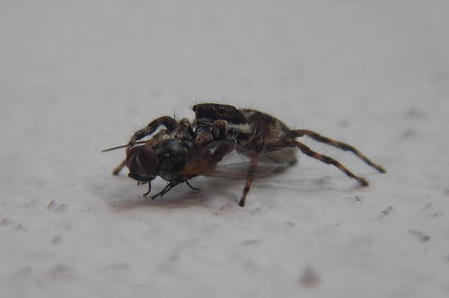 Jumping spider catches a fly
