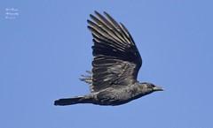 American Crow. (rumerbob) Tags: americancrow crow bird birdwatching birdwatcher wildlife wildlifephotographer wildlifewatcher nature naturewatcher naturephotography peacevalleypark lakegalena canon7dmarkii canon100400mmlens