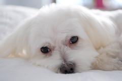 Cute maltese (Ewelina Jaminska) Tags: cute cutie beautiful beauty maltese doggy doggie dog puppy puppies pup white tongue whitedog black eyes fluffy lovely friend friends bestfriend fluffydog lovelydog cutedog animal animals love hair doghair whitehair