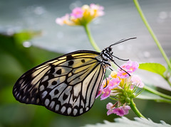 Butterfly (LuckyMeyer) Tags: insect makro butterfly black white sun light flower fleur baumnymphe