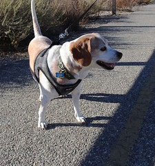 Chief (Webfoot5) Tags: dog dogs dogsonwalks dogzonwalkz beagle