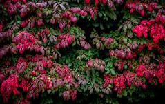 burning bush time (marinachi) Tags: autumn october green pink bush euonymusalatus burningbush leaves closeup painterly