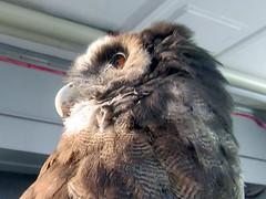 Bulan (billnbenj) Tags: barrow cumbria owl boobookowl raptor birdofprey