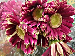 Gorgeous Gerbera Blossoms (bigbrowneyez) Tags: flowers blossoms gerbera gorgeous gorgeousberberablossoms beauties beautiful prettypetals fabulous bouquet elegant sweet dolce fiori fleurs nature natura fancy romantic colours special purple yellow striking stunning amazing superb belli bellissimi foto shiny dof