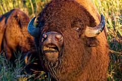 Prairie City, Iowa September 22, 2018 (Doug Lambert) Tags: bison mammal animal closeup nealsmithwildliferefuge midwest prairiecity iowa canon100400ii canon7dmarkii sunset autumn fall rural