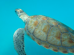 PA160096 (iainjmcd) Tags: bridgetown barbados october 2018 calabazasailingcruises seaturtle