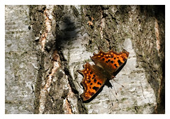 Comma Butterfly (dandraw) Tags: commabutterfly butterfly tree bark sunlight fuji xt3 fujifilm
