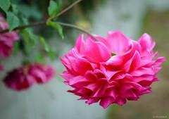 pink dahlia (Christine_S.) Tags: flower pink dahlia japan autumn garden nature canon eos m5 efm32mmf14