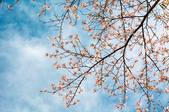 Blossoms (Arijit_Roy) Tags: throwback toronto nature sky sakura cherry blossoms beautiful arigraphy tree flowers