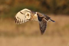 Short Eared Owl (Dougie Edmond) Tags: raptor owls birds nature wildlife