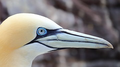 Big Blue Eyes! (captures.in.time) Tags: gannet northerngannet north northsea sea blue eyes portrait wildlife birding twitching seabird northberwick scotland nature birdwatching wildlifephotography naturephotography photography visitscotland lonelyplannet nationalgeographic ngm
