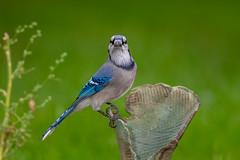 BlueJay-46388.jpg (Mully410 * Images) Tags: jay bluejay birding raku backyard bird birds birdwatching birder pottery