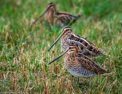 Three Snipe. (steve.gombocz) Tags: outdoors animal out outandabout nature wildlife ngc wildlifewatch naturewatch wildlifereserve naturereserve wildlifephotos naturephotos wildlifephotographs naturephotographs wildlifephotography naturephotography wildlifepictures naturepictures bbcsummerwatch tier animale flickrwildlife flickrnature wildbritain britishwildlife britishnature wildlifeuk rspb spurnpoint bird birds ukbird snipe commonsnipe birdwatcher birdwatch birdwatching naturewildlife uknatureandwildlife flickrbirds birdphotos birdpictures wader explorewildlife explorenature explorebirds birdphotography colour colours color colourmania avian uccello oiseau vogel ave pajaro flickraddicts nikon nikond850 nikoneurope nikoncamera nikon500mmf4 nikonfx grass green