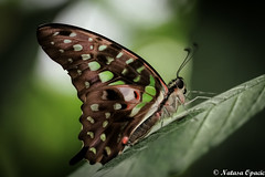 Beautiful Things Don't Ask For Attention (_Natasa_) Tags: butterfly macro closeup green nature art detail depthoffield dof natasaopacic natasaopacicphotography canon canoneos7d canonef100mmf28lmacroisusm butterflywings greenandbrownbutterfly bokeh