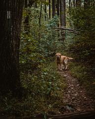 (HelloI'mJulia.) Tags: hiking forest woods hike dog pet yellow lab labrador goldenlab englishlab fuji fujifeed fujixt2 fujifilmxt2 fujifilm 35mm 35mmf14 shenandoah green nature grass trees trail