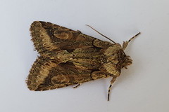 20181002_074350_edited-1 (Paul Young1) Tags: greenbrindledcrescent allophyesoxyacanthae noctuidae 1 one single moth moths animal animals insect insects insecta arthropod arthropods arthropoda lepidoptera nature wild wildlife uk british britain perched perching close study imago unitedkingdom closeup resting atrest top topview closedwings macro macromoth macromoths