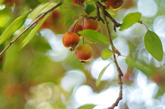 Fruits for Winter (Baubec Izzet) Tags: baubecizzet pentax bokeh nature fruit autumn apples flickrunitedaward