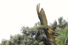 Let's Fly Away (kimmilouise) Tags: fly parrot bird animals wildlife spread wings away colourful free nature
