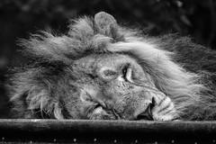 Asiatic Lion (mellting) Tags: djurparker eskilstuna nikond500 parkenzoo platser sigma1506005063sport bloggad flickr instagram matsellting mellting nikon sverige sweden asiaticlion asiatisktlejon pantheraleopersica lion catnap monochrome bigcat bnw blackandwhite zoo animal mammal