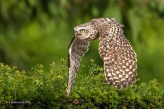 Burrowing Owl 501_2577.jpg (Mobile Lynn) Tags: owls burrowingowl birds nature bird fauna strigiformes wildlife nocturnal coth specanimal coth5 ngc npc