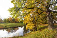 Autumn oak. (fedoseenko) Tags: санктпетербург россия красота colour природа beauty blissful loveliness beautiful saintpetersburg sunny art shine dazzling light russia day green park peace garden blue white голубой небо лазурный color sky pretty sun пейзаж landscape clouds view heaven mood summer serene golden gold gate colours picture hall road tree grass nature alley history trees tsar stairway walkway field autumn river lake water reflection outdoors old wood 5dmarkii