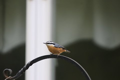 118/365/3770 (October 7, 2018) - Red-breasted Nuthatch (Saline Michigan) - October 6th & 7th, 2018 (cseeman) Tags: feeders birds saline michigan nuthatch redbreastednuthatch fall autumn backyard nuthatch10072018 2018project365coreys yearelevenproject365coreys project365 p365cs102018 356project2018