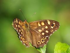 Motyl Schmetterling (arjuna_zbycho) Tags: motyle schmetterlinge swallowtail schmetterling motyl lepidoptera insekten insecta