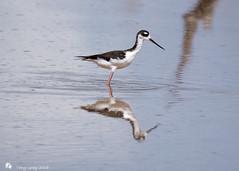 Black Necked Stilt (Tony CC Gray) Tags: blackneckedstilt birds tonygray canon floridakeys knightskey marathon florida
