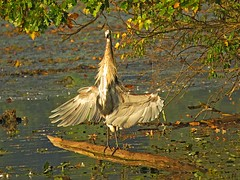 Great Blue Heron taking advantage of early morning sun! (Photos by the Swamper) Tags: wadingbirds heron greatblueheron