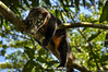 _DSC0312 (Gatol fotografia) Tags: tejón tejon animal chapare ecológico mamífero bolivia cochabamba