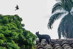 Hace tanto que te miro (Augusto Silva Otero) Tags: aves colombia criollos elcerrito fauna gatos naturaleza negros pájaros valle