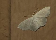 Geometer moth (Bug Eric) Tags: animals wildlife nature outdoors insects bugs moths geometers inchwormmoths geometridae lepidoptera alamo texas usa acratodessuavata northamerica september272018