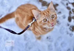 Kitten! #snow #cat #kitten #snowing #whitesnow #pet #petphotography #cute #portraits #pets #cats #ginger #colours #outdoors #nature #cold #like #follow #35mm #white #baby #meow #weather #winter #animals (Flashy Flamingo Photography) Tags: snow cat kitten snowing whitesnow pet petphotography cute portraits pets cats ginger colours outdoors nature cold like follow 35mm white baby meow weather winter animals
