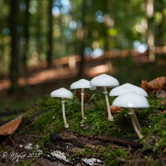The Familly (Mike Y. Gyver ( Back Home )) Tags: mushroom champignon myg mygphotographiewixsitecommyg2017 2018 nikonafsdxnikkor18105mm3556g nikon d90 dof dephtoffield belgium belgique brussels bruxelles bokeh forest tree trees moss atmosphere automne autumn softbox sb910 ngc