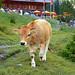 4702 Kuh, zu viele Menschen, ich gehe! Cow, too many people, I'm going!