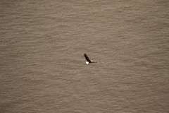7K8A7960 (rpealit) Tags: scenery wildlife nature state line lookout bald eagle bird