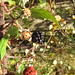 Blackberry (Rubus sp.)